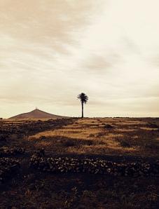 palmera desértica